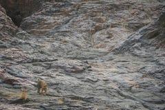 Escalade par un petit animal de tigre masculin photographie stock libre de droits