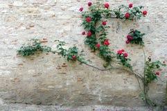 Escalador color de rosa de la pared de piedra del castillo francés Foto de archivo