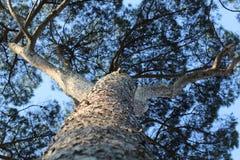 Escalando uma árvore Imagem de Stock Royalty Free