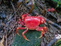 Escalar uma montanha nas montanhas encontra um caranguejo e é ainda vermelha Fotos de Stock