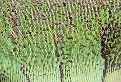 Escalas de la iguana Imágenes de archivo libres de regalías