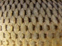 Escalas de pescados Fotos de archivo