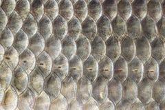 Escalas de pescados, fondo de la carpa crucian, pescado cartilaginoso, macro, primer Fotografía de archivo