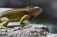 Escalas en una iguana común Fotografía de archivo libre de regalías