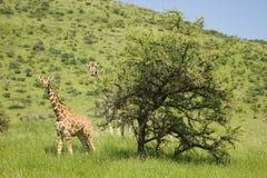 Escalier de girafe de deux masais dans l'appareil-photo de front à la garde de faune de Lewa, Kenya du nord, Afrique images stock