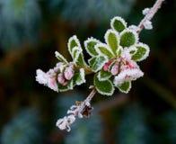 Escallonia και παγετός στοκ φωτογραφία με δικαίωμα ελεύθερης χρήσης