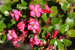 Escallonia Compact red. Evergreen compact shrub with   shining green leaves and reddish pink flowers in clusters, common hedging plant Stock Photography