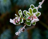Escallonia and Frost Royalty Free Stock Photography