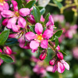 Escallonia Pinks. The pretty pink blooms of an escallonia bush stock images