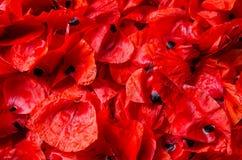Escamas de las amapolas rojas - fondo, textura Foto de archivo