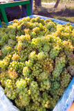 Escaninho das uvas Imagem de Stock