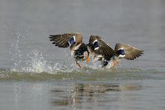 Escape. Ducks escape from the attack of other males Stock Photos