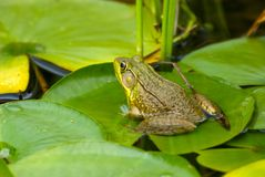 Escape. Green bullfrog on lily pad in pond stock photography