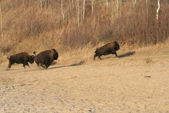 Escape of the american bisons. Bison caught in forest, alberta, canada Stock Photos
