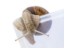 Escape! Burgundy snail going out of a transparent  Stock Images