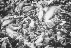 Escape the crowd. Hundreds of pigeons fighting to get there share of food Royalty Free Stock Image