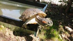 Escape de la tortuga de un acuario de la yarda almacen de metraje de vídeo