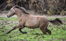 Escape fangoso del caballo salvaje del río Salt Fotografía de archivo libre de regalías