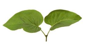 Escape joven de la lila, con dos hojas, aisladas en blanco Imagen de archivo libre de regalías