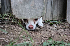 The Escape. The little chihuahua tries to dig an escape hole from a fenced in back yard stock photo