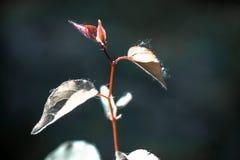 Escape small sapling apricots Stock Image