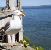 Escaped from Alcatraz. This gull is free to roam and fly and fish from the small island of Alcatraz home to the infamous penitentiary in San Francisco Bay Royalty Free Stock Image