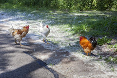 Escaped chickens royalty free stock photo