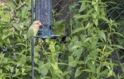 Love Bird at a Backyard Bird Feeder  1. Escaped Love Bird at a Backyard Bird Feeder  1 Stock Images