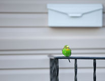 Escaped Pet Parakeet. Sits in Front of House, Waiting to be Rescued Royalty Free Stock Photo