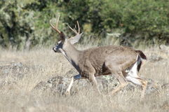 Escaping black-tailed buck Royalty Free Stock Photo