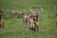 Escaping Deer in the highlands of Scotland. Escaping Deer in the green highlands of Scotland 2 Royalty Free Stock Image