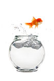 Escaping Goldfish Royalty Free Stock Photos