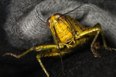 Escaping grasshopper Royalty Free Stock Photography