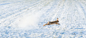 Escaping hare. Hare escaping a hunter's shot on a snowy field royalty free stock images
