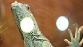 Escaping Iguana. Adult iguana in a terrarium trying to escape and hitting the glass stock video footage