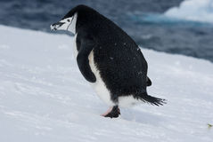 Escaping Penguin. Penguin that runs through the snow Stock Photo