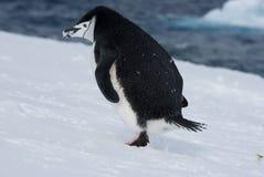 Escaping Penguin. Stock Photo
