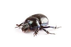 Escarabajo imagen de archivo