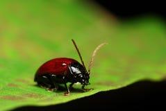 Escarabajo Foto de archivo libre de regalías