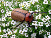 Escarabajo 2 Fotos de archivo