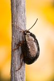 Escarabajo Fotografía de archivo libre de regalías