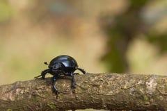 Escarabajo fotos de archivo