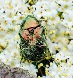 Escarabajo 3 imágenes de archivo libres de regalías