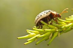 Escarabajo acorazado en una planta Imagen de archivo libre de regalías