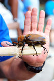 Escarabajo adulto del elefante Fotos de archivo
