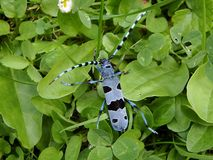 Escarabajo alpino del fonolocalizador de bocinas grandes fotografía de archivo libre de regalías