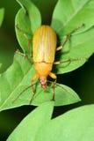 Escarabajo amarillo imagen de archivo