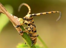 Escarabajo amarillo del cuerno del insecto Imagen de archivo