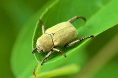 Escarabajo amarillo en una hoja verde. Imagen de archivo libre de regalías