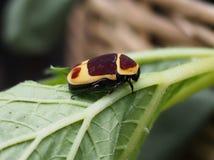 Escarabajo amarillo y marrón, peregrina del marginata de Pachnoda Imágenes de archivo libres de regalías